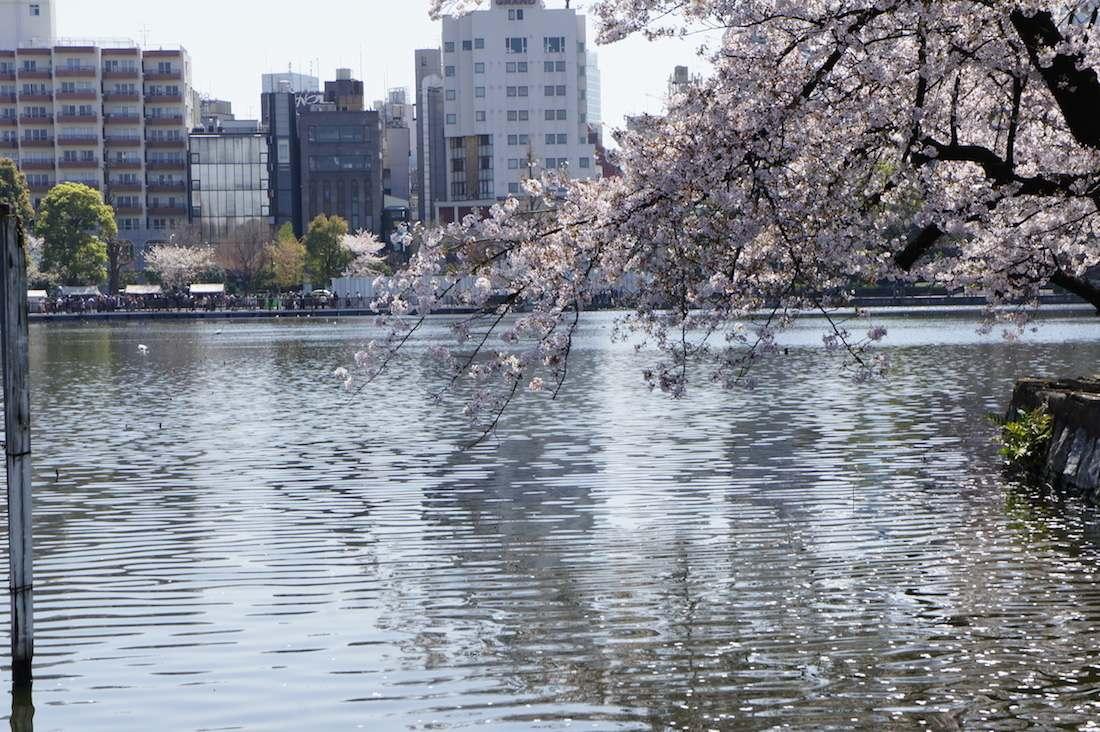 上野恩賜公園 不忍池の桜
