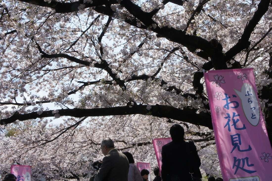 上野の桜は「楽しい」