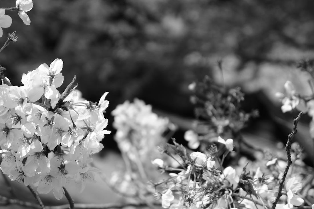 旧岩崎邸庭園の桜