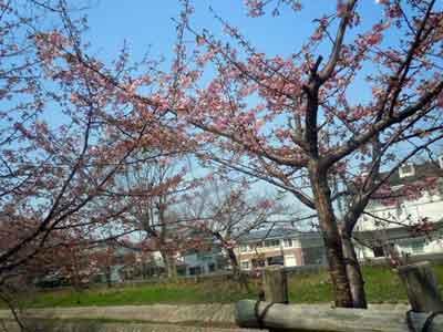 15.3.13河津桜