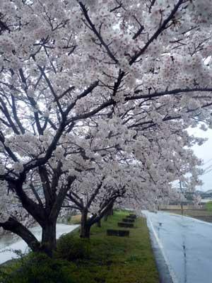 15.4.1桜並木