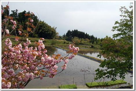 13.5.4八重桜