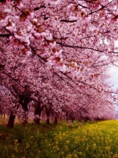 cherry-blossom-sakura-12.jpg
