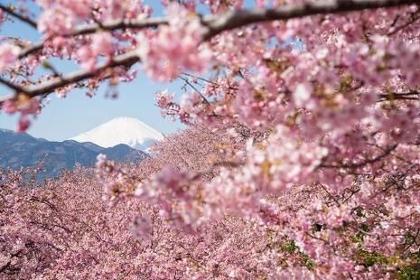 cherry-blossom-sakura-14.jpg