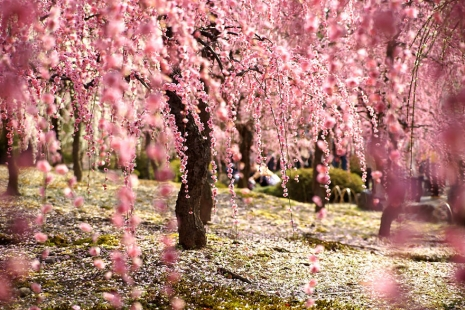 cherry-blossom-sakura-16.jpg