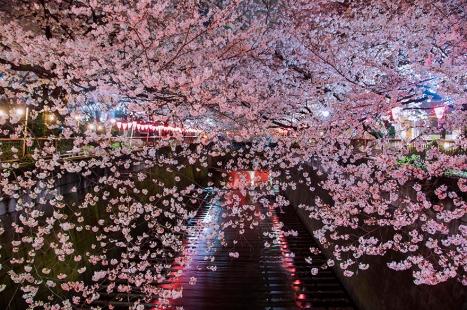 cherry-blossom-sakura-17.jpg