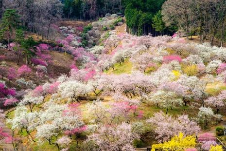 cherry-blossom-sakura-18.jpg