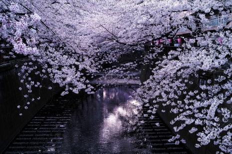 cherry-blossom-sakura-1.jpg