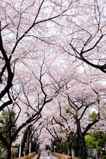 cherry-blossom-sakura-22.jpg