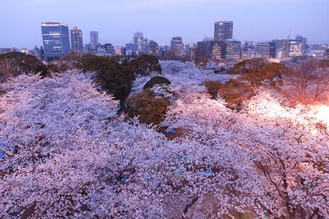 cherry-blossom-sakura-24.jpg