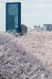 cherry-blossom-sakura-27.jpg