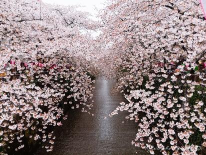 cherry-blossom-sakura-31.jpg