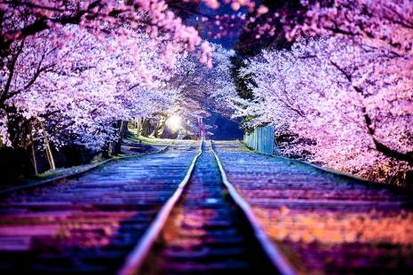 cherry-blossom-sakura-3.jpg