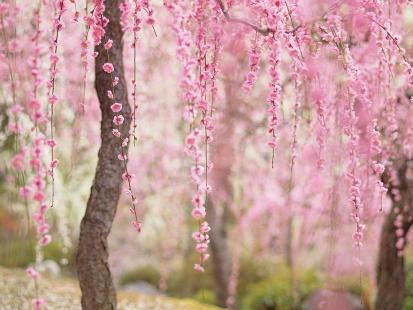 cherry-blossom-sakura-4.jpg