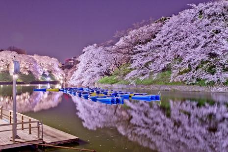cherry-blossom-sakura-5.jpg