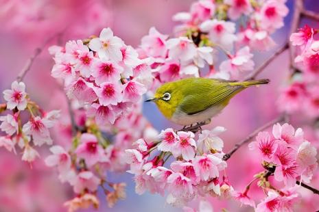 cherry-blossom-sakura-6.jpg