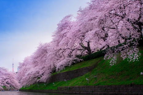 cherry-blossom-sakura-8.jpg