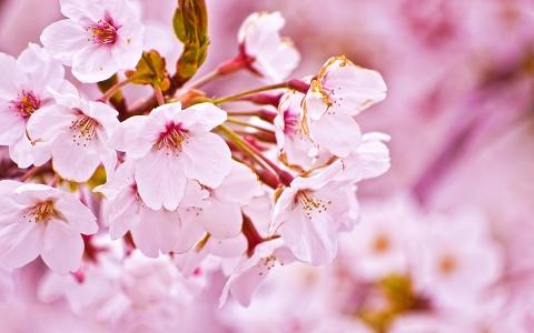 cherryblossom_20150303165428cd7.jpg