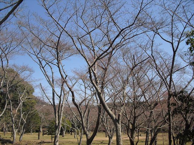 H27.3.27正法寺山荘跡さくらCIMG2173