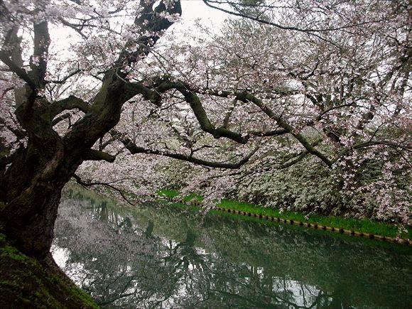 2013.05.04弘前城さくら001