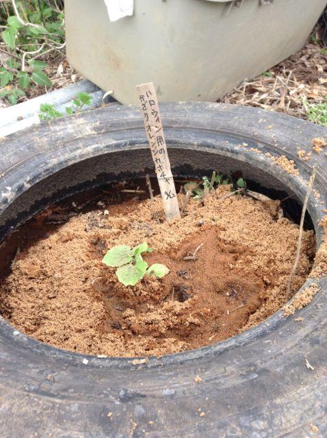 4:22・カボチャの苗植え2