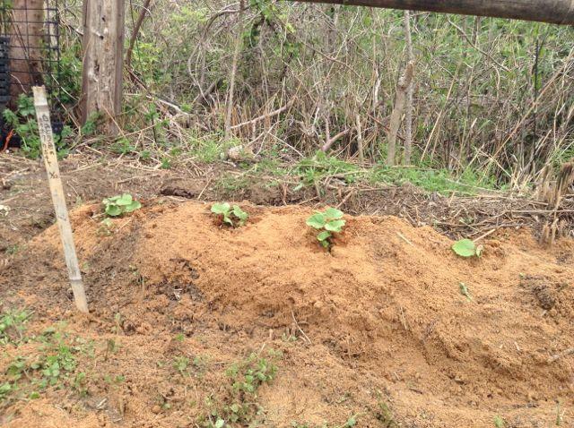 4:22・カボチャの苗植え1