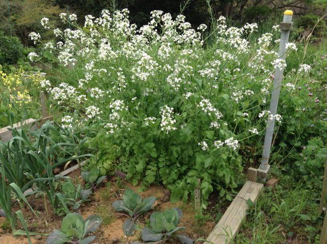4:22・種取り用大根の花