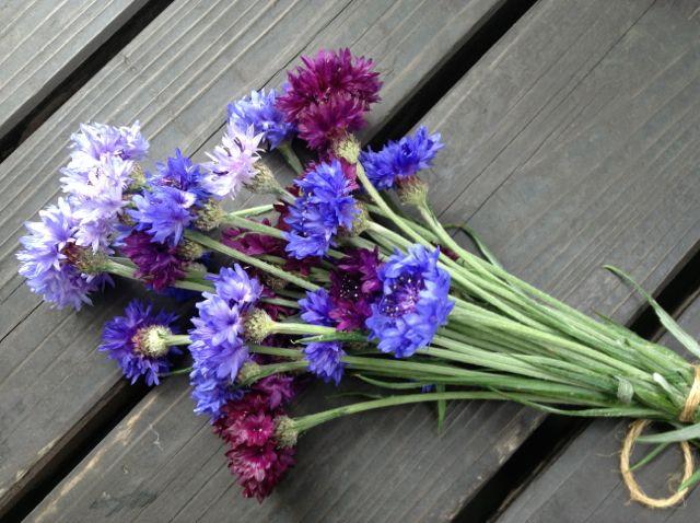 コーンフラワーの花