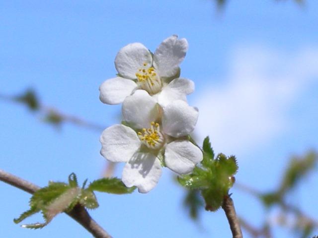 桜アップ0424