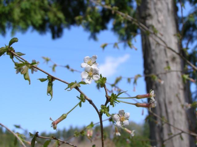桜20424