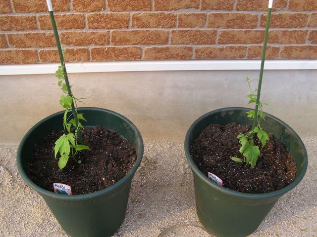 鉢植えゴーヤ0527