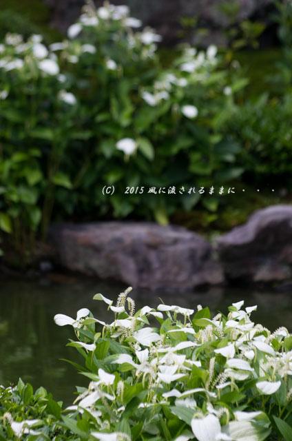 2015年6月 京都・両足院 半夏生(はんげしょう)9