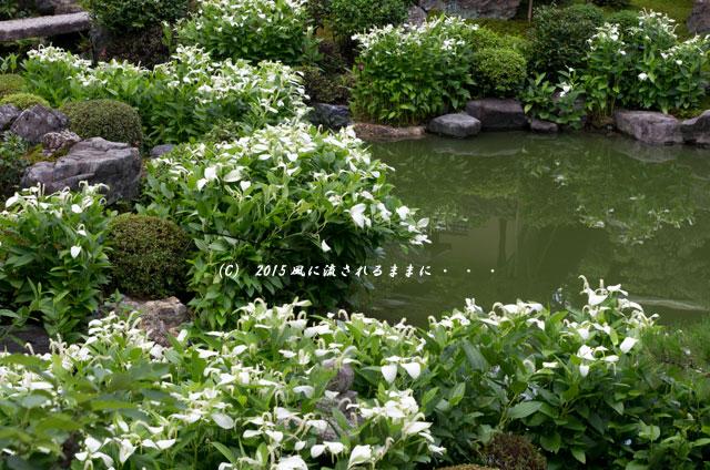2015年6月 京都・両足院 半夏生(はんげしょう)2