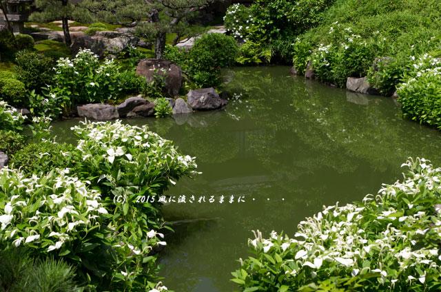 2015年6月 京都・両足院 半夏生(はんげしょう)4