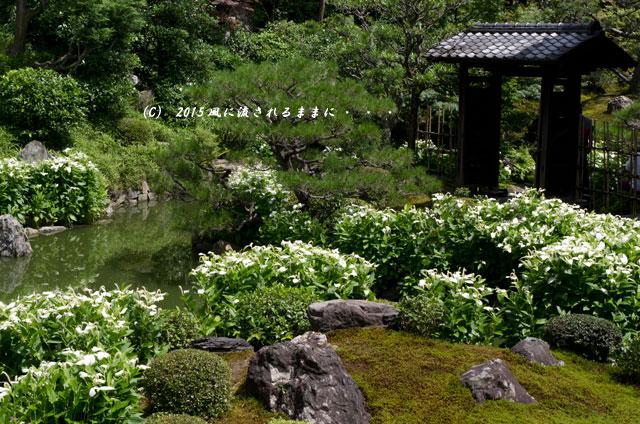 2015年6月 京都・両足院 半夏生(はんげしょう)5