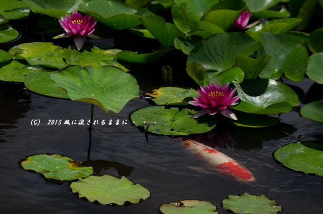 2015年6月28日撮影 京都・勧修寺氷室池2