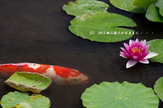 2015年6月28日撮影 京都・勧修寺氷室池4