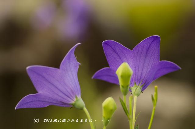 2015年7月 奈良・元興寺 桔梗の花1