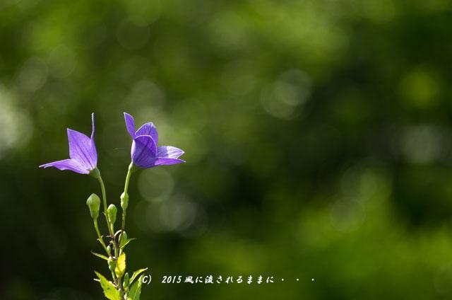 2015年7月 奈良・元興寺 桔梗の花6