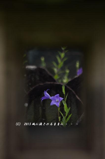2015年7月 奈良・元興寺 桔梗の花8