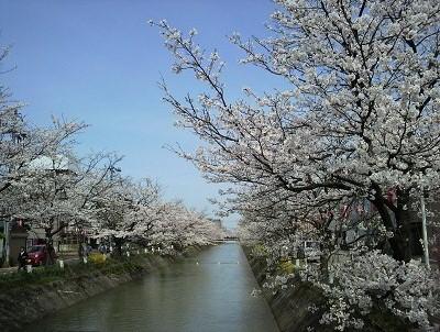 20150414 412福島江桜