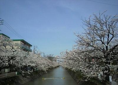 20150414 412福島江桜2