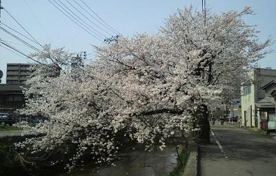 20150414 412福島江桜4