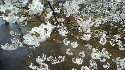 20150414 412福島江桜5