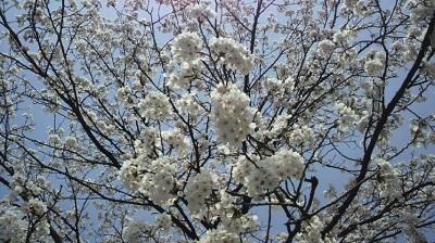 20150414 412福島江桜6
