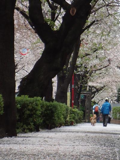 15桜の歩道_convert_20150406202513