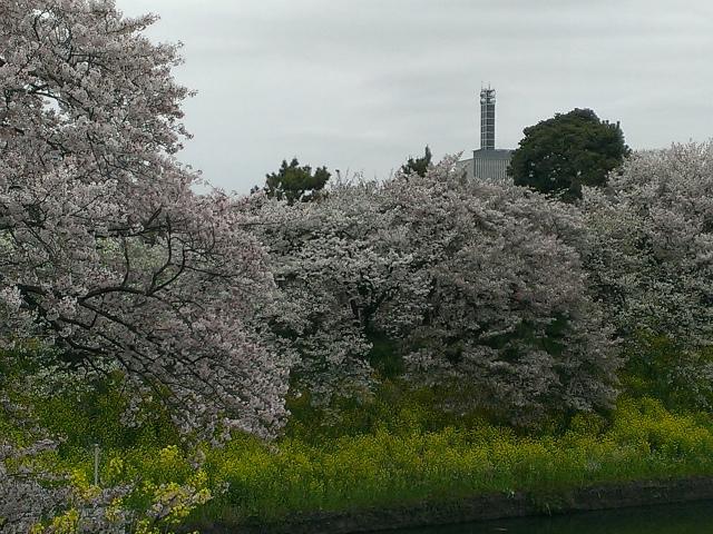 069菜の花と桜