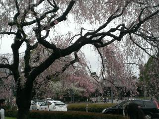 078都会の桜