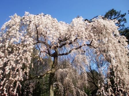 枝垂れ桜 5