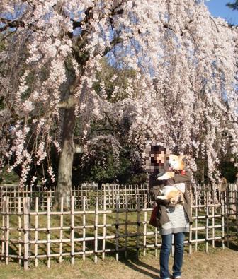 枝垂れ桜 6